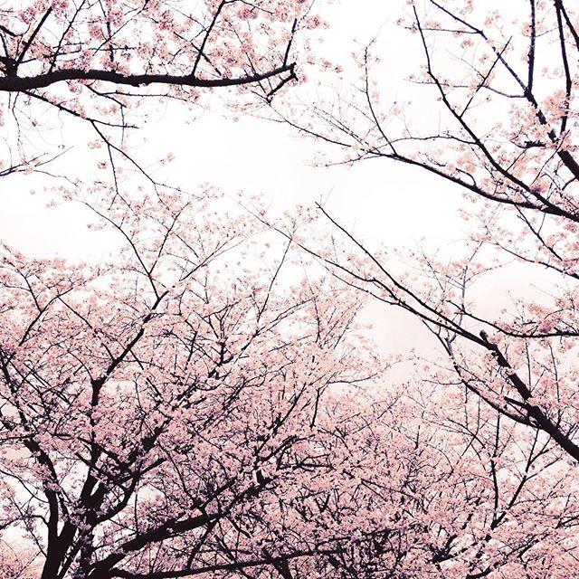 吉野公園は満開の桜でようやく花見らしい花見が出来ました#炭火で焼肉#酒なし#旦那なし#まったり