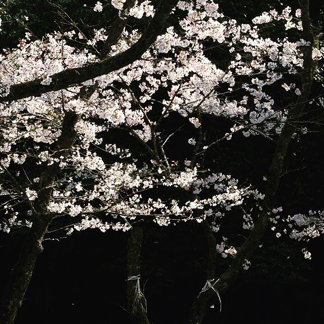 慈眼寺公園で花見今年は、天気良し!桜良し!バーベキューのプロ達に勉強させて貰いました。#セッティング最高#ビールサーバー#慈眼寺公園#酔っ払いの喧嘩#良い思い出?